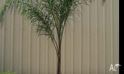 Medium sized palm tree in perfect health. It is