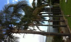 8 x palm trees for sale varying in sizes from 12-20m