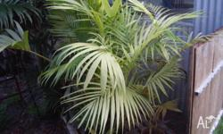 COLLECTION OF 5 KENTIA AND 8 BANGALLOW PALMS IN NEED OF