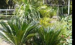 LARGE VARIETY OF PALMS & CYCADS, SUN HARDENED, PRICES