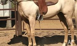 Palomino Station Bred Quarter Horse Gelding 3 years