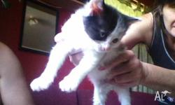 hello my name is panda i am a male 8 week old kitten