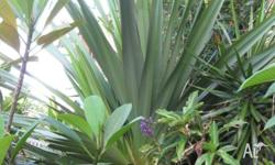 This feature plant is approximately 11' tall. Buyer to