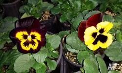 Beautiful pansy plants - huge range of colors available