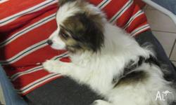 purebred Papillon pup vca registed (limited papers) 1