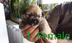Party pomeranian cross Tibetan Spainal Born on 26th of