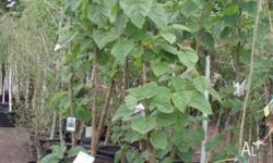 Paulownia fast growing tree with blue flowers in mid