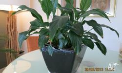 This healthy peace lilly comes with black stylish