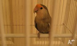 Olive Peach Face Love Bird in large white cage on stand