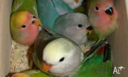 Avery bred small Peachface parrots for sale, $15 each.