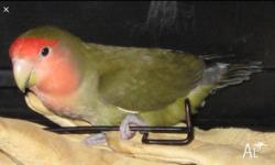 Has to go asap please Only one olive green lovebird