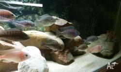 For sale is my cichlid collection. Selling as I'm