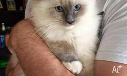 Kelanrowe Ragdolls have this one gorgeous boy available