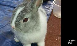 Pedigree Netherland Dwarf rabbit. Male Chinchilla