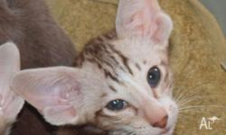 I have pedigreed Oriental bicolour male kittens for