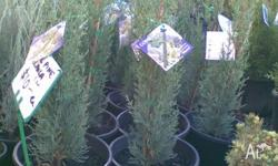 Pencil Pine Green variety. Available in 17cm pots