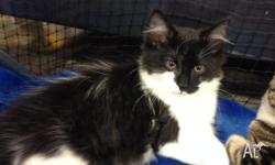 Achilles is a 7 month old male, he is black and white