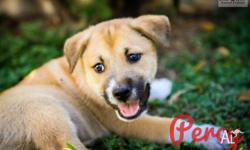 Looking for a puppy with character? Then meet Percy!