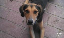 8 month old female Beagle/Kelpie cross. Very energetic