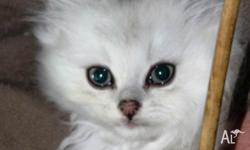 This pair's mum is a Persian Chinchilla X Ragdoll, and