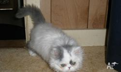 Hi we have a beautiful female persian ready for her new