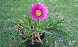 I have beautiful Pigface Plants for sale. These have