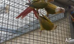 Pineapple Green Cheek Conure Males - $220.00 EACH