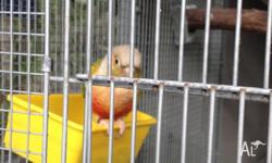 conures Classifieds - Buy & Sell conures across Australia page 2