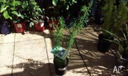 Rosemary is a periennal herb, quite often grown in the