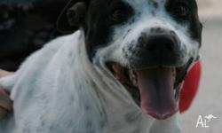Pippa is a 2 year old female american staffy X, who is