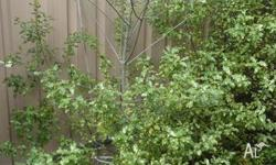 Two advanced pittosporum plants (Screenmaster) in good