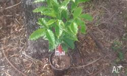 Grow your own coffee trees.suit tropical areas.Grows to