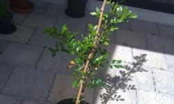 1 Jasmine Murraya (Orange Jessamine) healthy, well