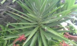 A wide range of bromeliads yukkas and cuttings from a