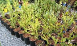 Assorted Flax, Castlewellan Gold Conifers, Euonymus Tom