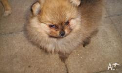 8 weeks old female pom vac.chipped,vet