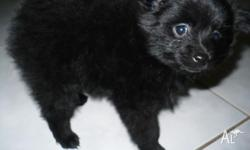 Little black pomeranian boy for sale. Only 6 weeks old