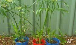 Cyperus plants for sale. They grow equally well in