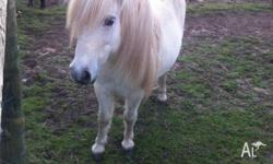 Holly is a gorgeous nature pony for a Shetland X. She