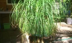 Ponytail Palm (Beaucarnea Recuruata). This palm is