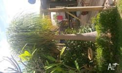 Ponytail palm 3.5 mtr tall, you remove.