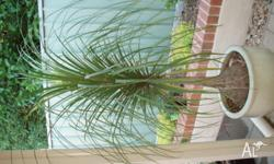 Ponytail palm in pot (pot is not for sale) palm stands