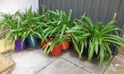 Roughly 40 Agapanthus plants potted and ready to go. $3