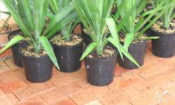 HEALTHY POTTED YUCCA PLANTS ONLY PICK UP LOMBARD PLACE