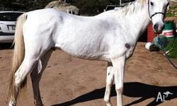 Kind, vice free gelding who is an ex-riding school