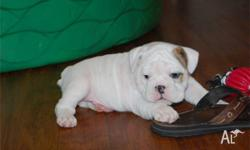 Two male and female English bulldog puppies bulldog