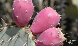 Prickly Pear Cactus pad cutting x1 or 1 seedling with
