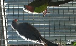 Up for sale is a pair of blue princess parrots and a