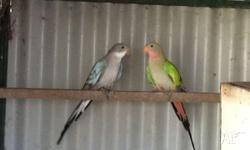 I have a pair of Princess parrots for sale. Blue hen
