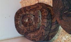 Male Proserpine Carpet Python for sale with beautiful